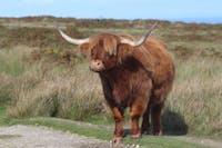 A fine highland cow
