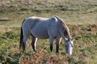 A Lundy pony