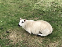 Dozy sheep