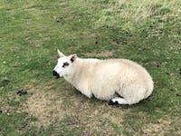 Dozy sheep